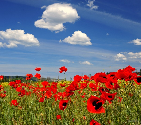 french poppy field